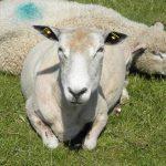 Hetlinger Schanze Schafe